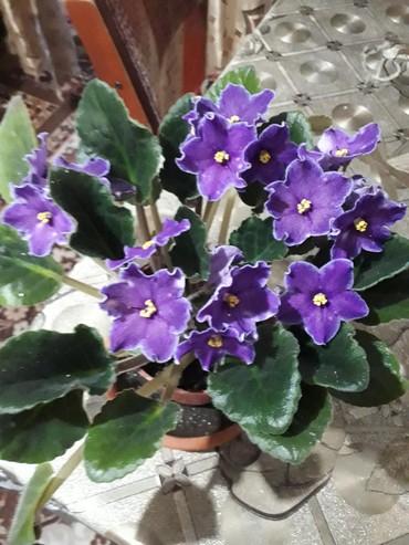 Комнатные растения в Кок-Ой: Очень красивые фиалки