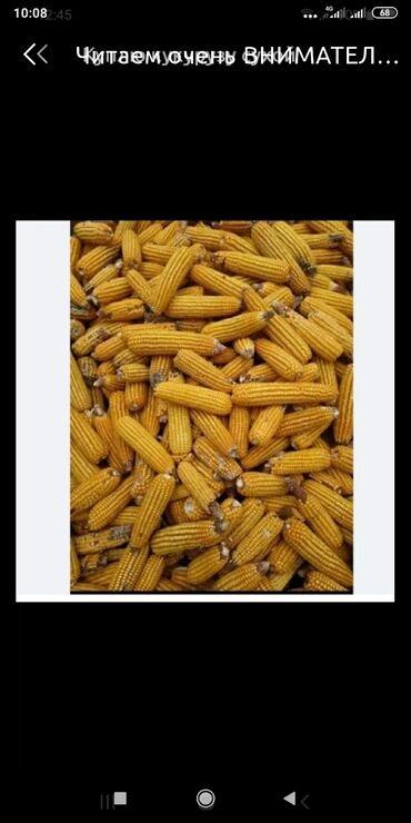 72 объявлений | ЖИВОТНЫЕ: Куплю кукурузу по 11 сом. Жугору сатып аламын 11 сомдон. село