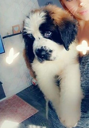 St Bernard puppiesStunning St Bernard puppies looking for their