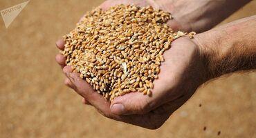37 объявлений | ЖИВОТНЫЕ: Буудай (пшеница) сатылат.сорт интенсивный, 1 тонна, цена договорная