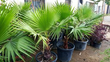 Palma agaciQiymet - 80/100 aznUnvan : Bineqedi rayonu Bineqedi sosesi