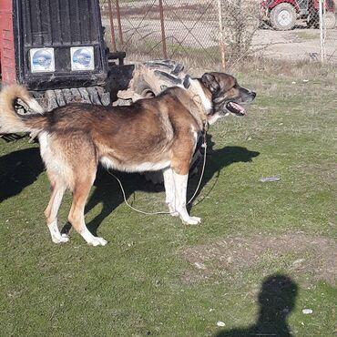 Животные - Гилязи: Собаки