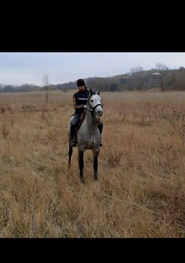 31 объявлений | ЖИВОТНЫЕ: Продаю | Жеребец | Конный спорт | Племенные