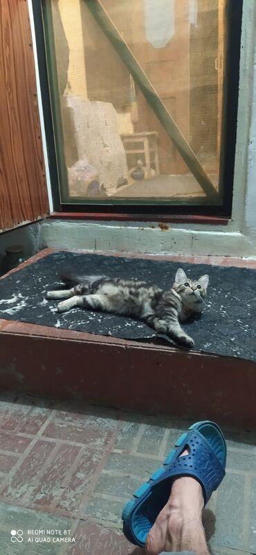 pisik - Azərbaycan: Maine coon cins pisik