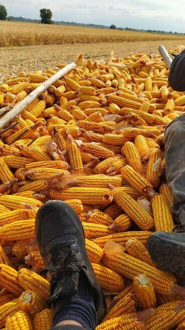 китайский пластырь для суставов бишкек in Кыргызстан | ОРТЕЗЫ: Куплю кукурузу с поля по 11 сом. большой объем нужен. Все сорта кроме