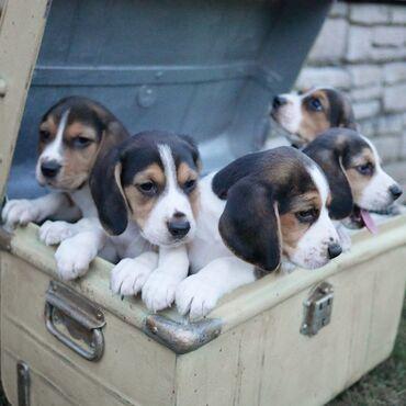Κουτάβια Beagle για υιοθεσίαΤα κουτάβια Beagle για υιοθεσία ανδρών και