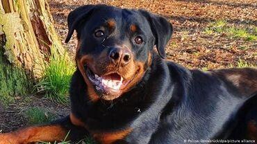Продам собак породы Ротвейлер . кобель и сука, возраст 2 года, не