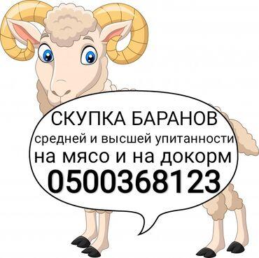 тянь ма телевизор пульт в Кыргызстан: Куплю | Бараны, овцы