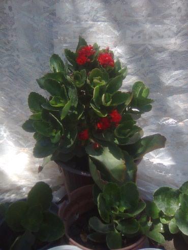 Продаю  ростки от этого цветка,   от 100 в Бишкек