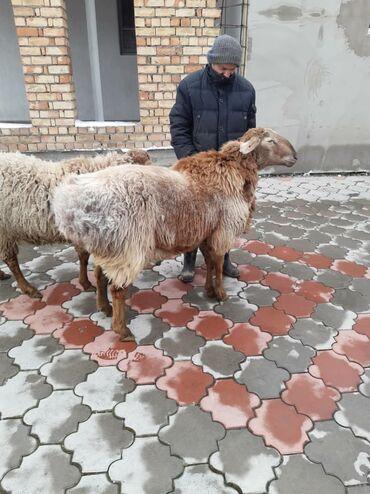 Бараны, овцы - Порода: Другая порода - Бишкек: Продаю | Баран (самец) | Племенные