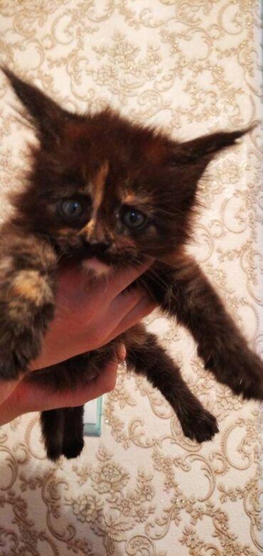 Животные - Кара-Балта: Продаются котята породы мейн-кун . Котята крупные, приучены к