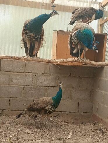 Птицы - Кыргызстан: Продаю 1.5 годовалых самцов индийских павлинов