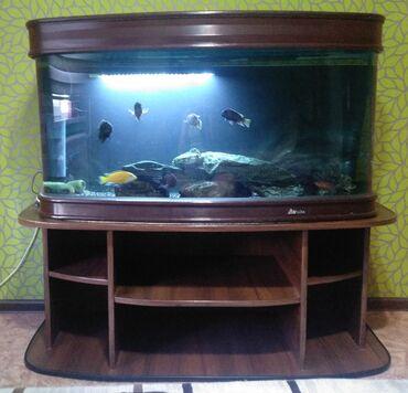 Животные - Бишкек: Продаю аквариум 350 л, заводской, с тумбой и всем содержимым, обитател