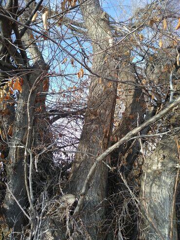 Продаю карагач 5 куба толшина дерево от 15-до 40 см высота 5-6 метров