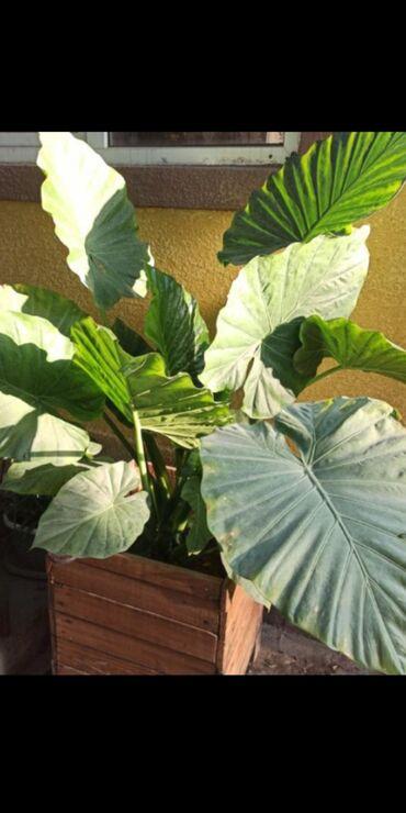 99 объявлений: Другие комнатные растения