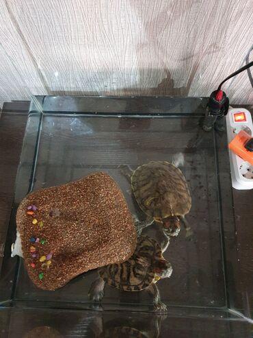 заказать гироскутер за 5000 в Кыргызстан: Продаю краснаухих черепах мальчика и девочку, возраст 2 года. Продаём
