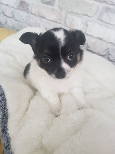 Chihuahua Puppies Wonderful Chihuahua puppies for sale. Puppies just