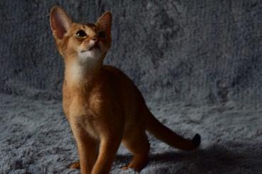 Абиссинские котята! Абиссины-самая в Кант