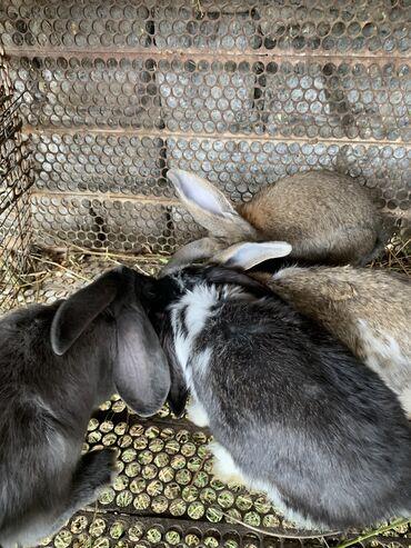 526 объявлений: Продаю кроликов 4 штуки по 400 сом