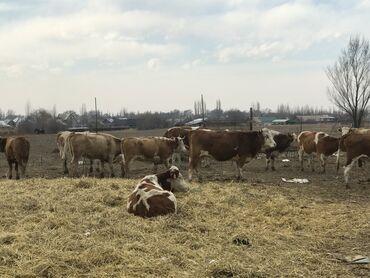 Животные - Кыргызстан: Продаю | Бык (самец) | Симментальская