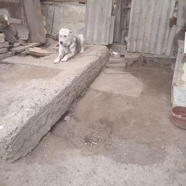 Продаю собаку парода Алабай 8 месяцев цена 5000 сом