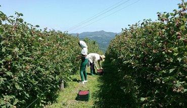 Berba malina - Srbija: Hitno potrebni radnici za berbu malina u Arilju. Stan i hrana