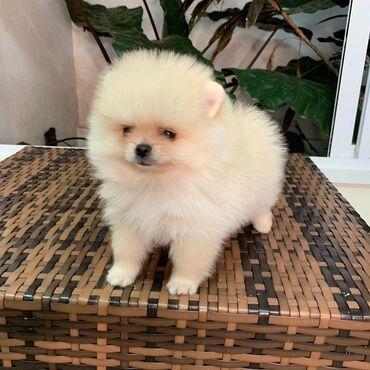 Pomeranian κουτάβι αγόρι / κορίτσι αξιολάτρευτο δέσμες του Fluf Είμαι