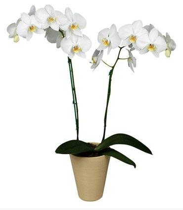 Орхидея фалинопсис в Бишкек - фото 4