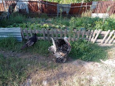 Животные - Кара-куль: Продаю индюков(год и три месяца) 2 шт: самец и самка. Находится в