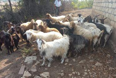 31 elan   HEYVANLAR: Qoyunlar. 5 cavan qoyun,4 şişək, boğazdılar, 4 quzu, 8 ana keçi, 11