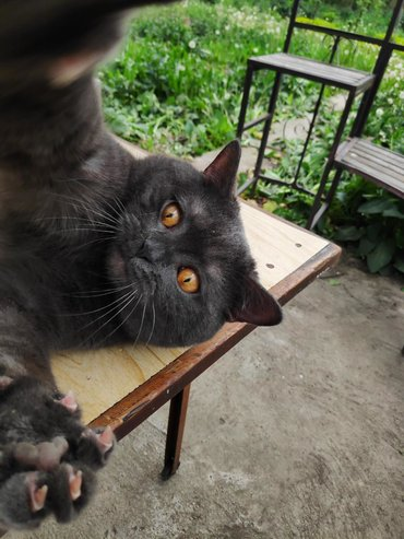 Кот На вязку!!!!  Шотландский кот из питомника, Funny love! (Бишкек)