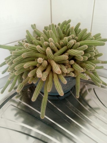 Jako lep kaktus,boja narandzasta - Loznica