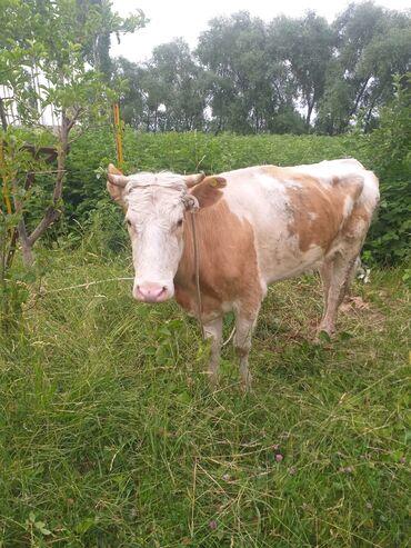 Животные - Кызыл-Туу: Продаю | Корова (самка) | Симментальская | Для молока | После отела