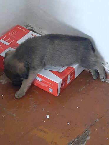Животные - Кыргызстан: Срочно отдам щенка. Она спокойна, со временем начинает играть и лесть