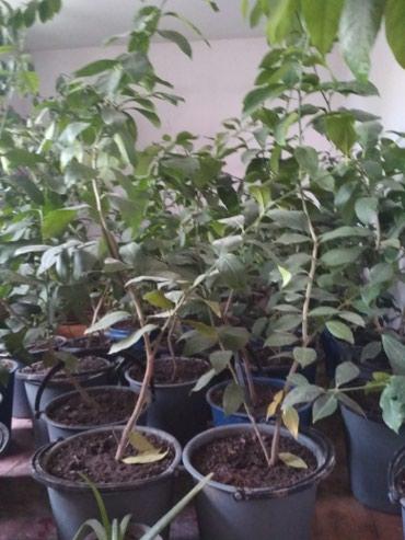 Продаю лимоны плодоносящие от 3х лет.  в Бишкек