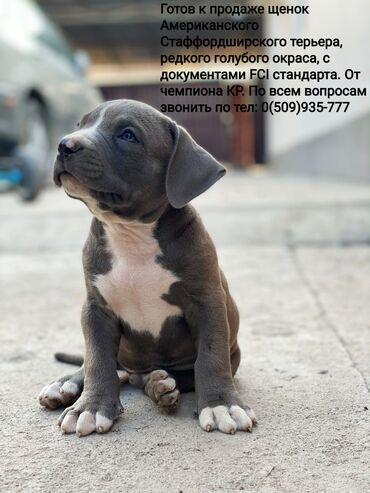Продаётся щенок Американского стаффордширского терьера, редкого голубо