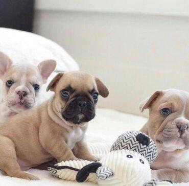 Ποιότητα AKC French Bulldog Puppy για δωρεάν υιοθέτηση !!!Γεια σας