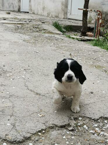 Срочно Продаётся щенок Русский спаниель, от рабочих родителей