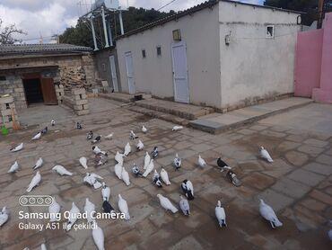 quwlar - Azərbaycan: Quwlar satilir tek tek qiymet ferqlidi hamisin alana 240 manat 57ya 58