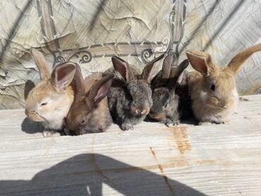 Продаю   Крольчата   Французский баран   Для разведения   Племенные