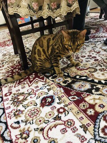 Коты - Кыргызстан: Вязка! Бенгальский кот. Возраст 1 год и 2 месяца. Привитый и отглистов