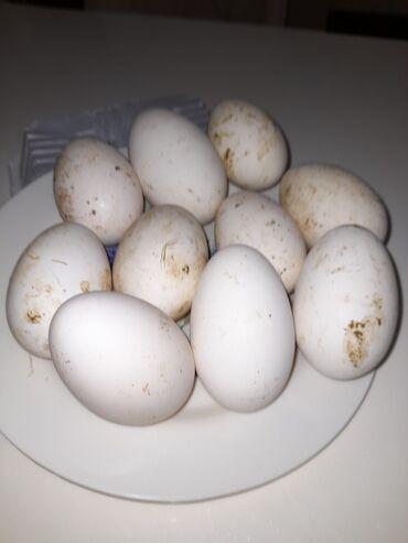 Quşlar - Azərbaycan: Linda ve kuban qaz yumurtaları . Tam mayalı yumurtalardı. Qiymeti 1