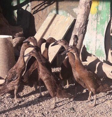 Bakı şəhərində Pingivin  ördəylər şəkildəkilər satilir diri 20 az