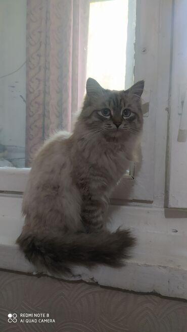 Продаю кота, 8 месяцев, мальчик, подарим бесплатно лоток, тарелочки и