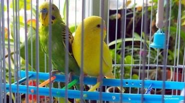 Волнистые попугайчики разных цветов в Бишкек