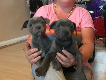 Staffordshire κουτάβια bull terrier.Πωλούνται κουτάβια Staffordshire
