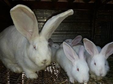 продам-крольчат в Кыргызстан: Продаю крольчат великан Ризен родились 11 апреля 2020 года