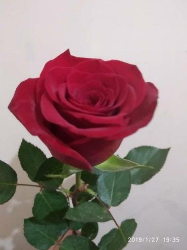Штучно Роза в розницу и оптом