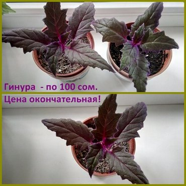 Продаю комнатные растения от 150 с до 300 в Бишкек - фото 4