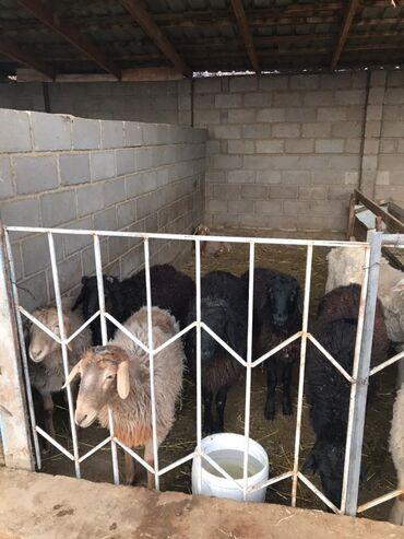 Бараны, овцы - Порода: Другая порода - Бишкек: Продаю | Баран (самец)